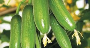 Cucumber Mini Munch. Picture; Mr Fothergill's