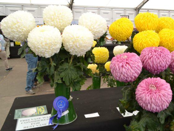 Vases of Chrysanthemums