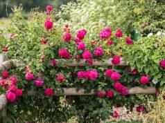 Thomas a Becket rose. Picture; David Austin Roses