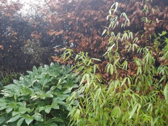 Fatsia japonica, Fargesia Pingwu bamboo and beech