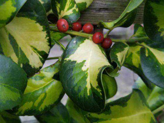 Seasonal holly (Ilex aquifolium Lawsoniana)