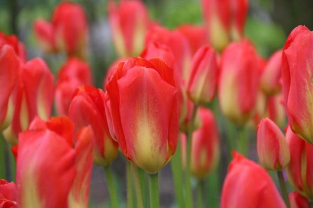 Tulip Red Alert. Picture; Lubera