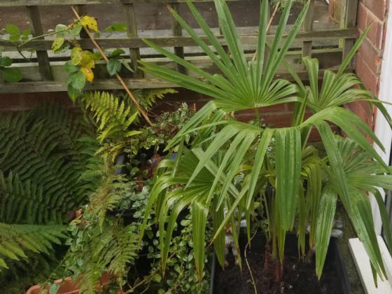 Windmill palm (Trachycarpus fortunei) and soft shield fern (Polystichum setiferum)