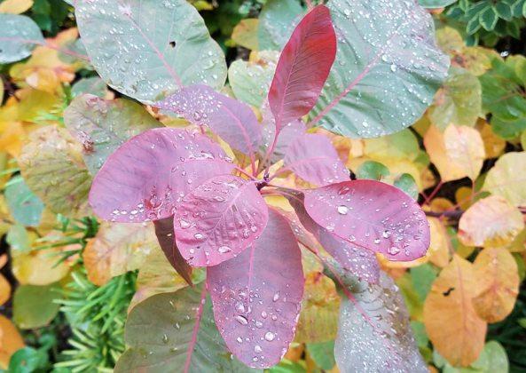 Cotinus colouring up, November 4