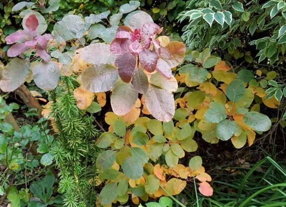 Cotinus, Korean Yew and Weigela variegata, November 4