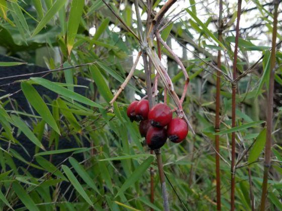 Bamboo Fargesia Jiuzhaigou with added Whitebeam berries