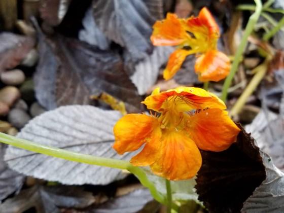 Self-seeded nasturtiums on their last day of life!
