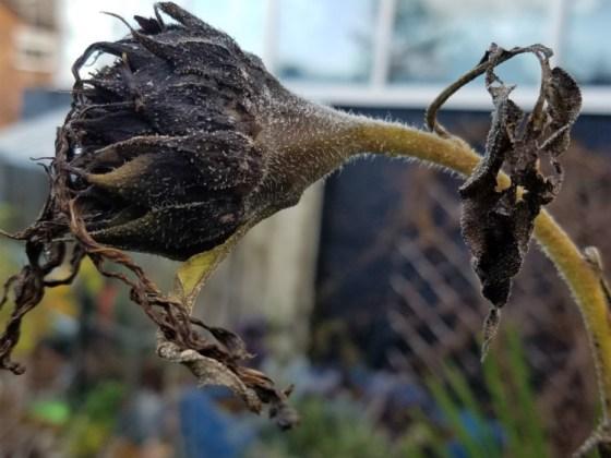 Sunflower China Cat dead as a doornail