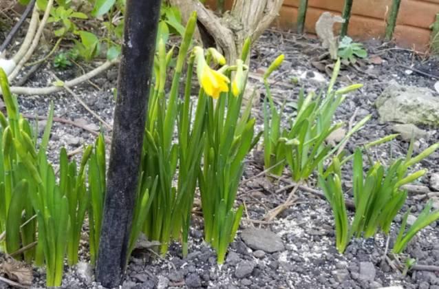 Daffodil Tete a Tete, January 31