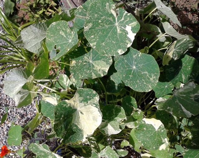Nasturtium Alaska's foliage