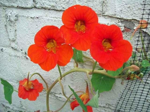 Orange climbing nasturtiums with spurs on show
