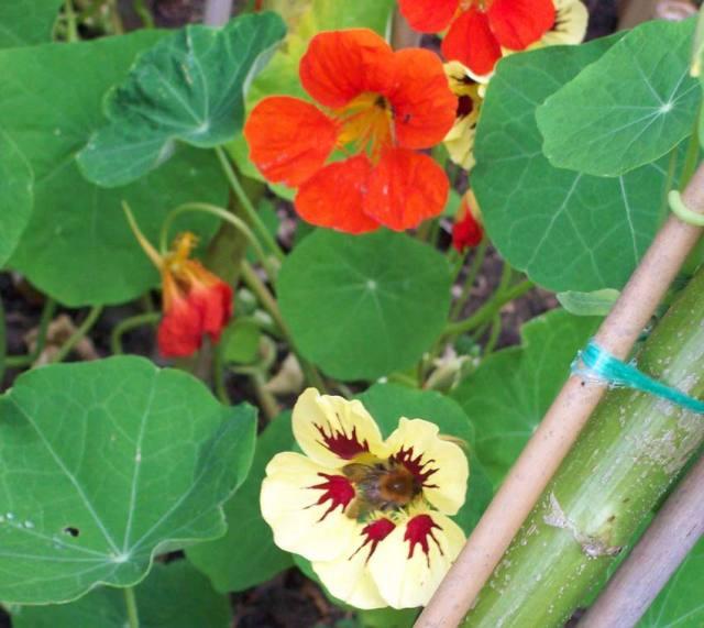 New nasturtium Chameleon rubbing petals with an old orange mix variety