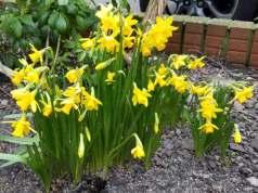 Daffodil Tete a Tete, February 19