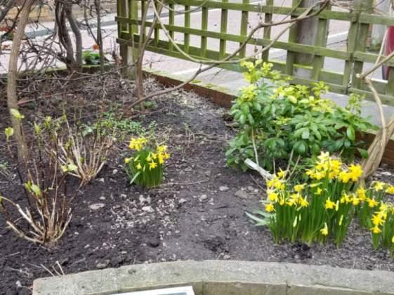 Transplanted Hydrangeas, daffodil Tete a Tete and Choisya, February 19