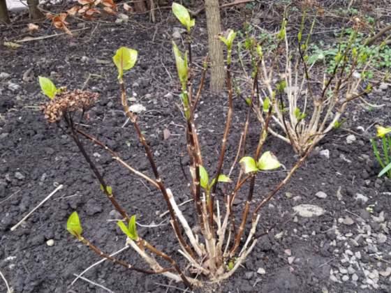 Transplanted hydrangeas, February 19