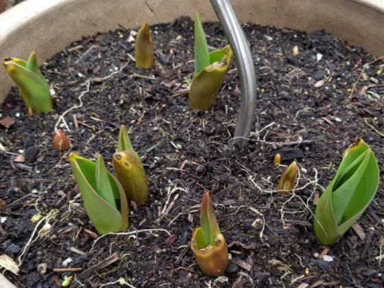 Tulips, February 19