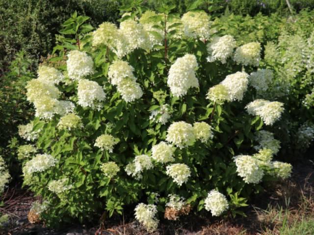 Hydrangeasy® Earlygreen®. Picture; Lubera