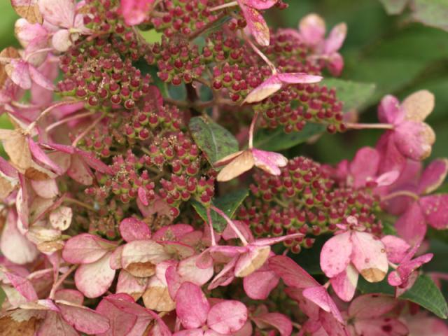Hydrangeasy® Pink Starlets®. Picture; Lubera