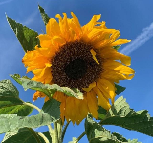 Sunflower Pike's Peak. Picture; Burpee Europe