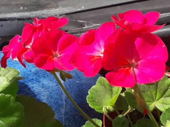 Pink/orange geranium
