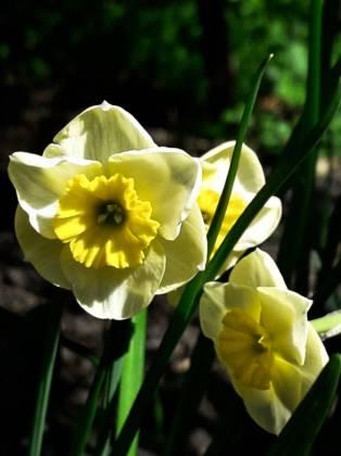 Daffodil Sunshine