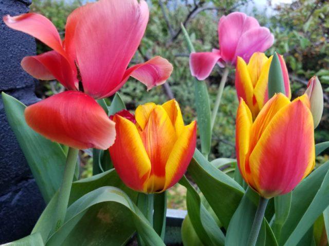 Tulips Triumph Mix, May 1
