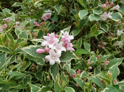 Weigela variegata Florida
