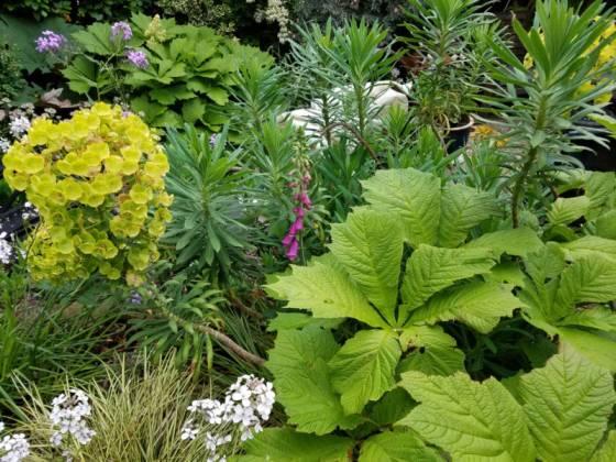 Rodgersia, Euphorbia, sweet rocket and a stray foxglove, June 9