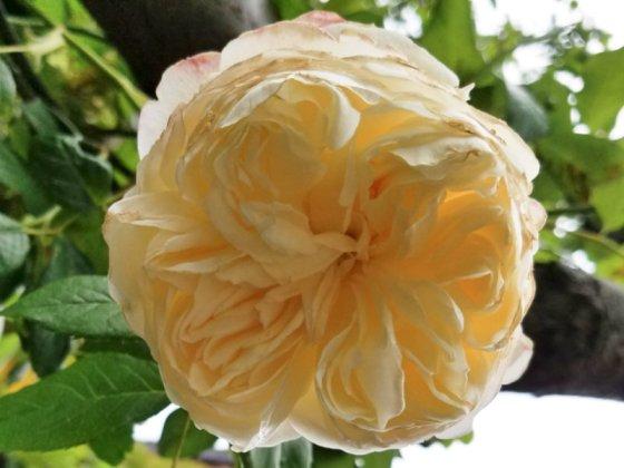 Rose Claire Austin, June 9