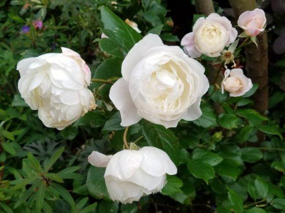 Rose Desdemona, June 23
