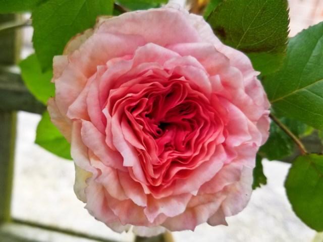 Rose James Galway, June 9