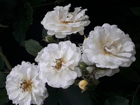 Unnamed rambler rose, June 27