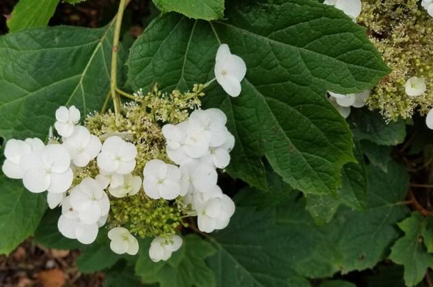 White lace-cap hydrangea