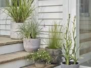 Ornamental grasses in pots. Picture; Dobbies