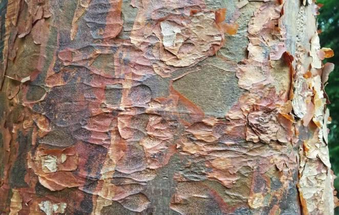 Paper bark maple