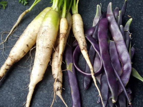 White carrots and purple runner beans, Sept 4