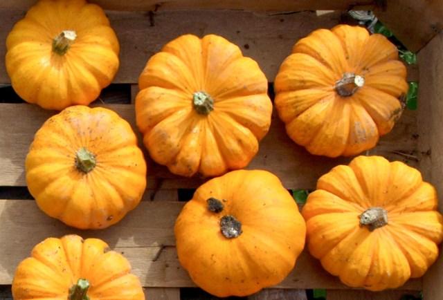 Pumpkin Jack be Little. Picture; Dobies