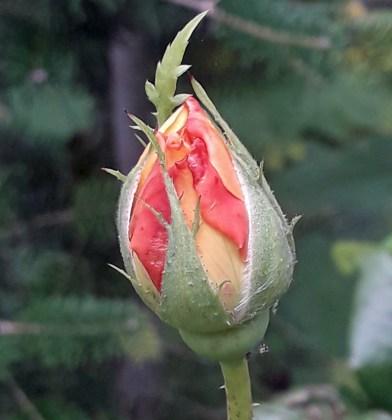 Rose Leah Tutu, Sept 8