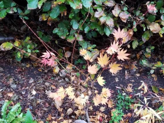 Acer shirasawanum Jordan, Oct 21