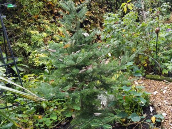 Korean fir, Oct 21