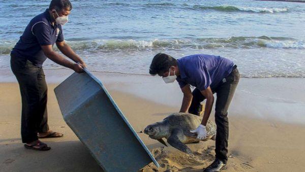 Hundreds of dead turtles wash    Hundreds of turtles die in Sri Lanka due to shipwreck