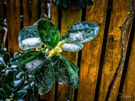 eduard-armeanu-fleur-de-glace