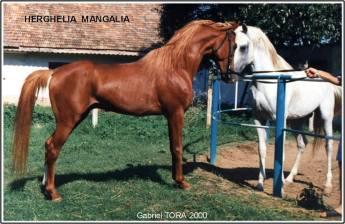Gabriel-Tora-cai-arabi-arabian-horses-02