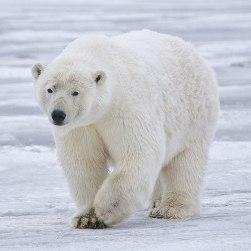 FRAM - ursul polar