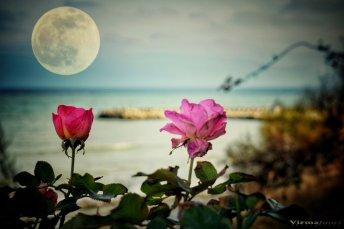 Valerian Șarînga - In plină iarna trandafiri sub prima luna plina a anului4