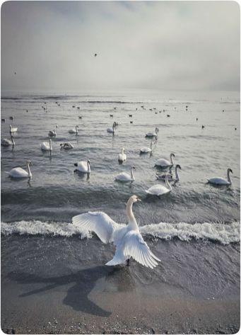 Vlad Eftenie - Swan sea Eforie
