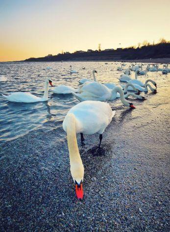 vlad eftenie - swan sea in Techirghiol