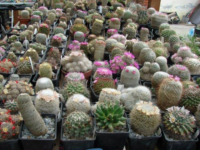 colectia-de-cactusi-prof-mihai-ionescu