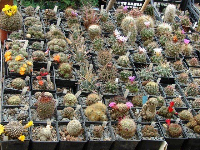 colectia-de-cactusi-prof-mihai-ionescu2