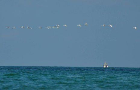 lebede in zbor la mangalia foto Rux Georgescu